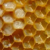 דבש מלכות