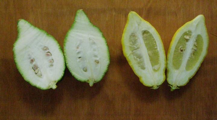 Etrog or Lemon